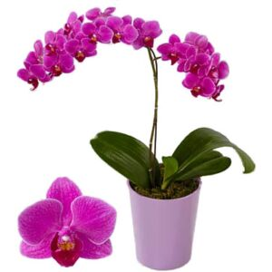 Orchid with one brach in ceramic pot